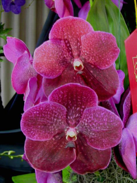 vanda orchids in our tropics